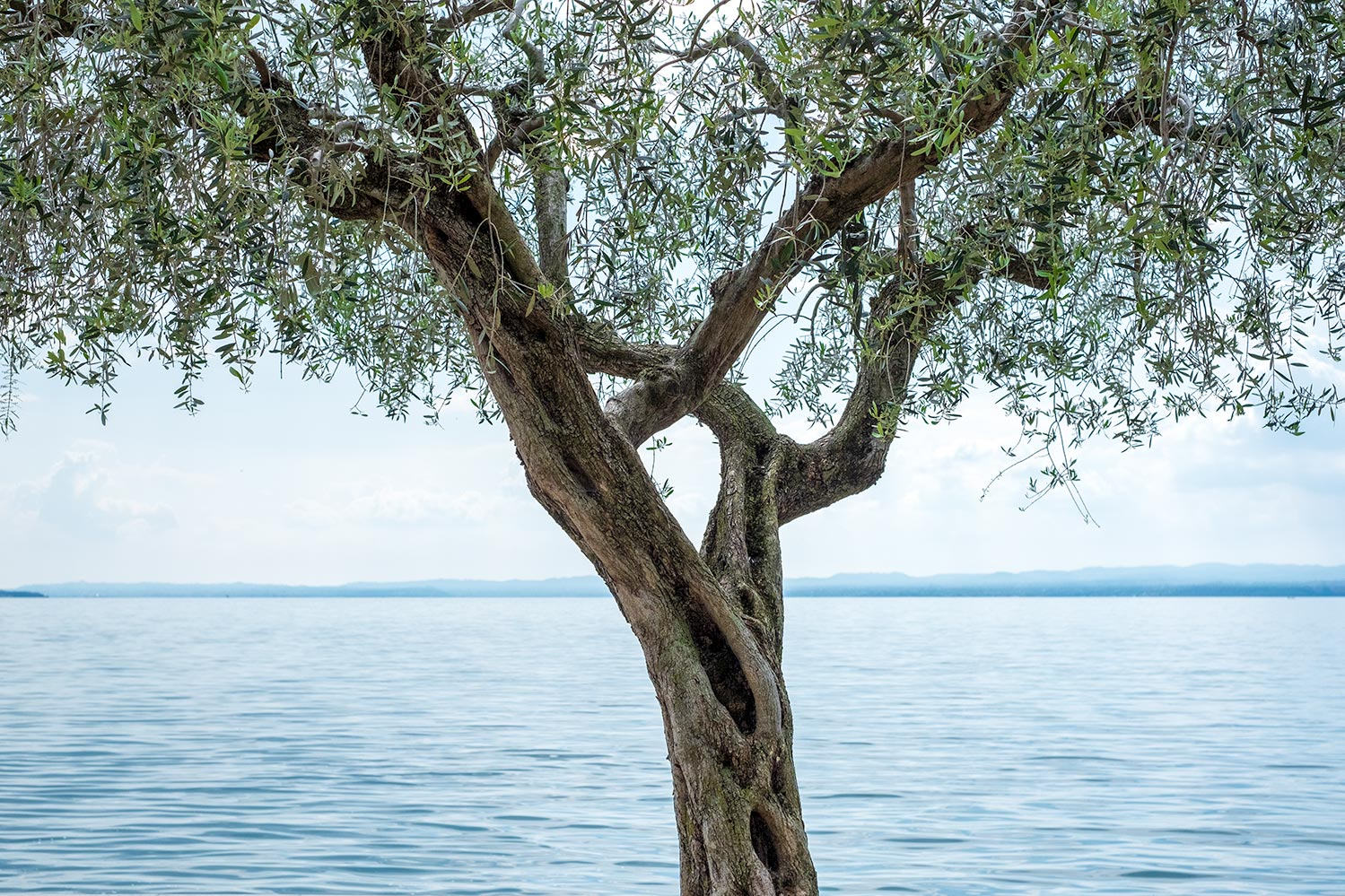 A tightly cropped image of an Olive Tree on the banks of the light blue Lake Garda, Italy.