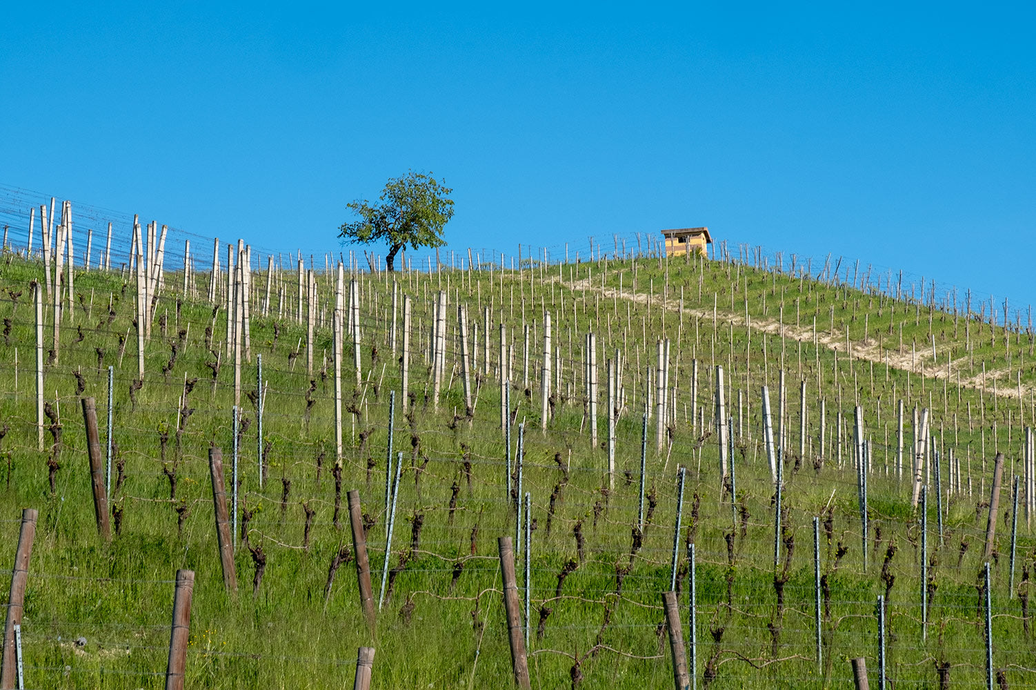 A hillside of young vines in Piedmont with a tree and a small house on the summit, below a clear blue sky.