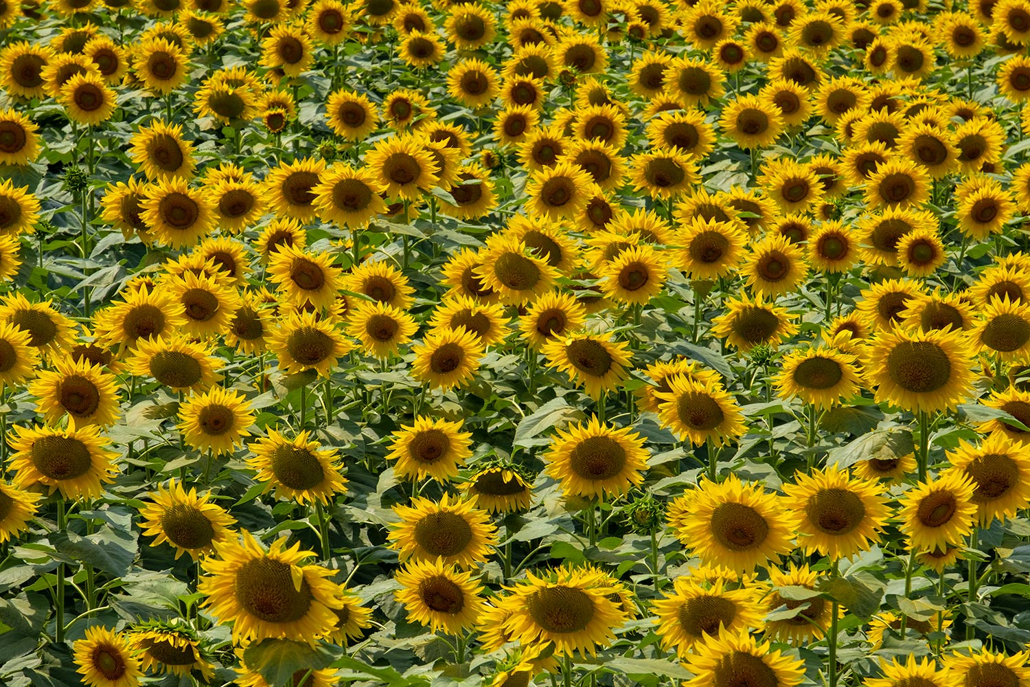 A sea of golden headed sunflowers on the outskirts of San Gimignano in the province of Siena, Italy.