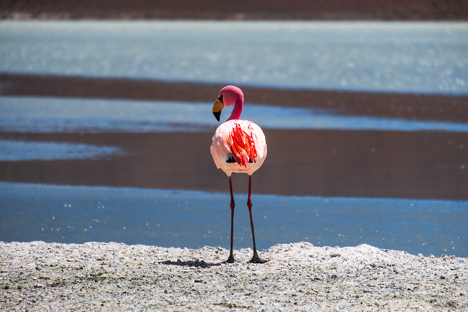 Lone Pink Flamingo standing on the edge of a blue lake near the Salt Flats, Uyuni, Bolivia.
