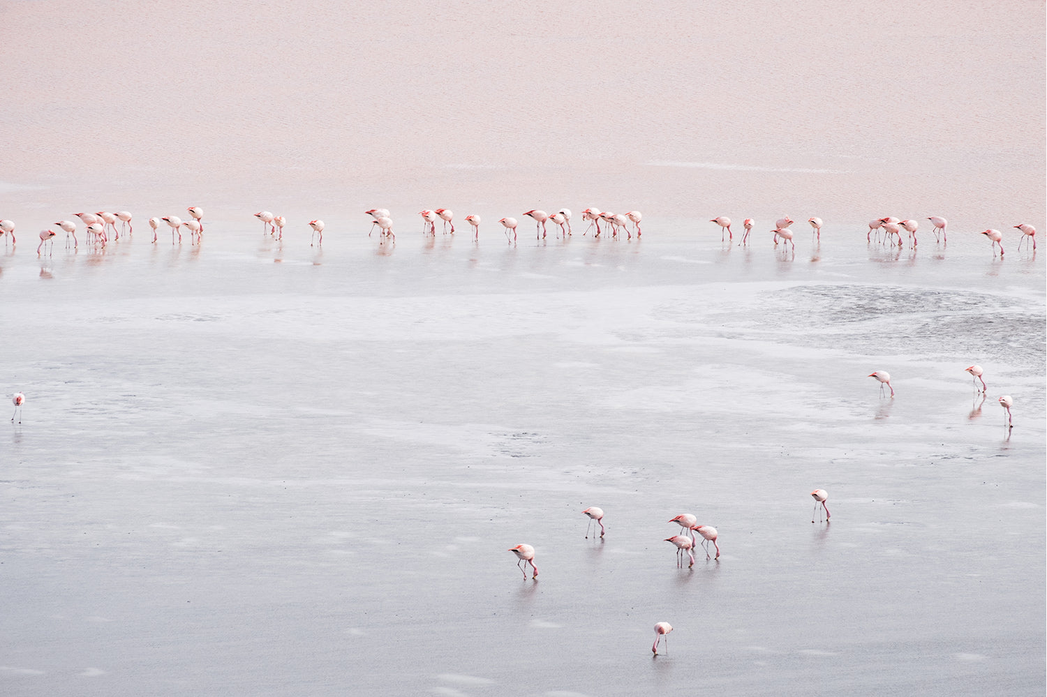 Pink Flamingos spread around the lake near the Salt Flats, Bolivia. Flamingos wade along the edge and through the shallows