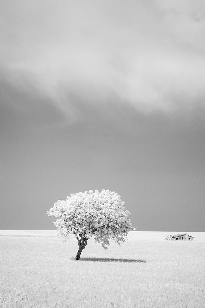 Infrared image of a lone tree in the middle of the Alta Murgia National Park inland from Bari, Southern Italy.