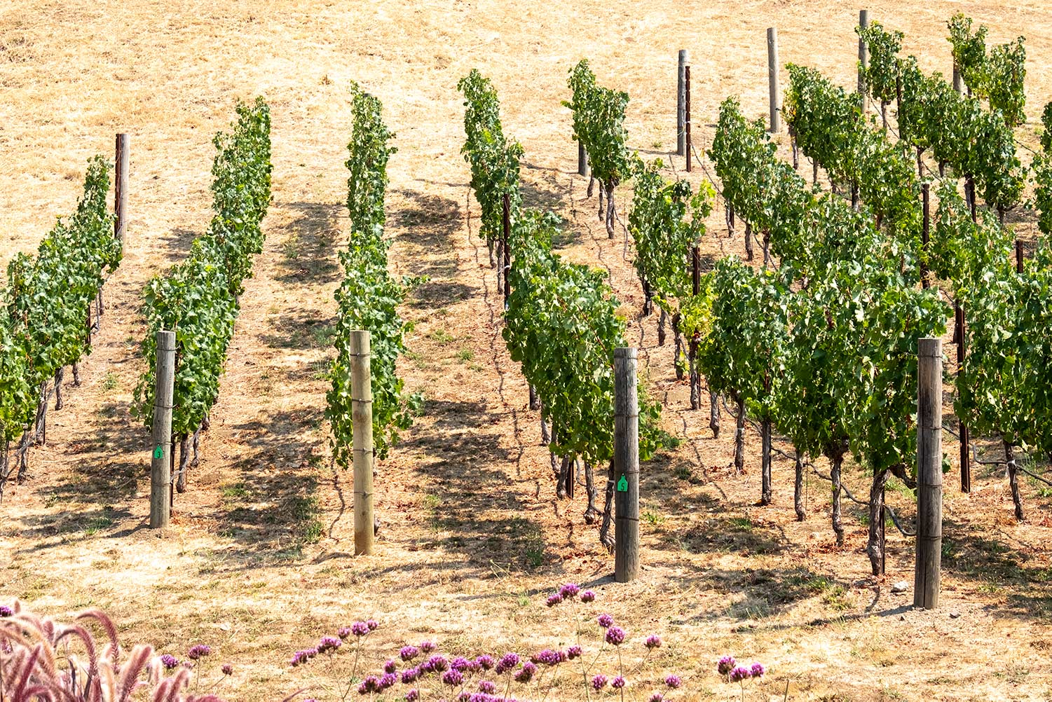 The straight lines of the vines on the Odette Estate Winery look almost like rows of Guardsmen standing to attention in the sun.
