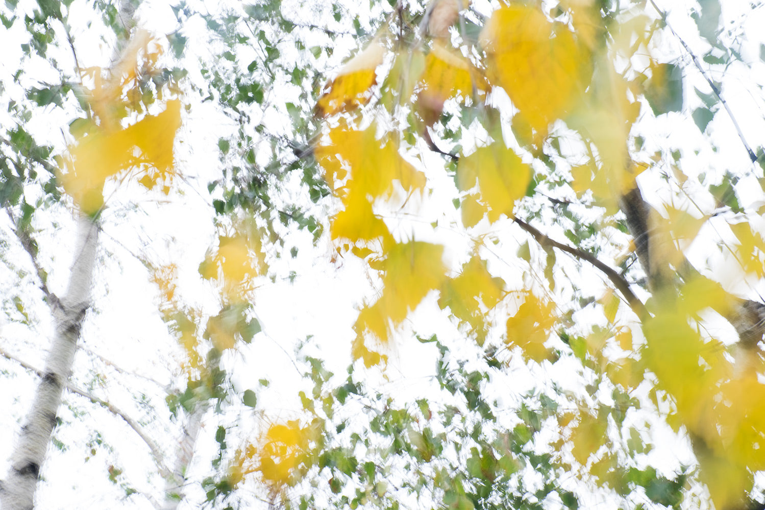 Silver Birch trees in front of the Tate Modern, taken with intentional camera movement (ICM). The yellow leaves and green foliage stand out against the white sky.