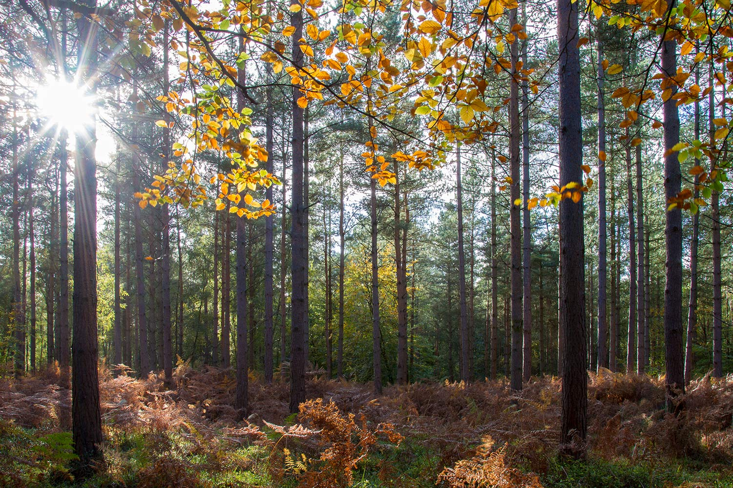 The sun shining through the autumn trees in The New Forest lights up the golden coloured leaves and woodland.