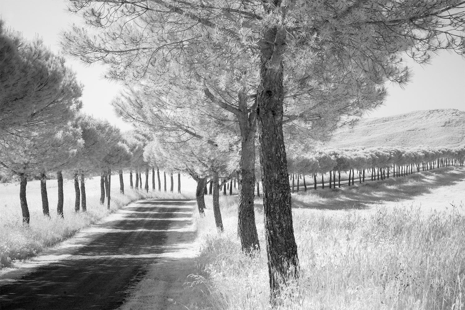 A black and white image of an Avenue of Trees either side of the road through the rolling Italian countryside.
