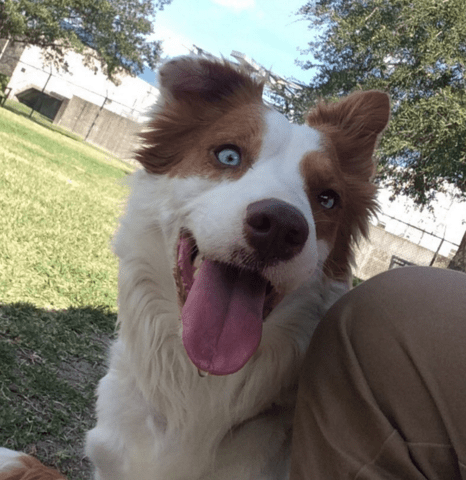 white brown dog smiling two color eyes