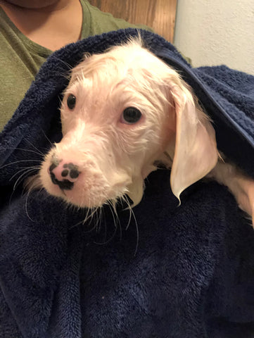 white puppy in blue towel after shower