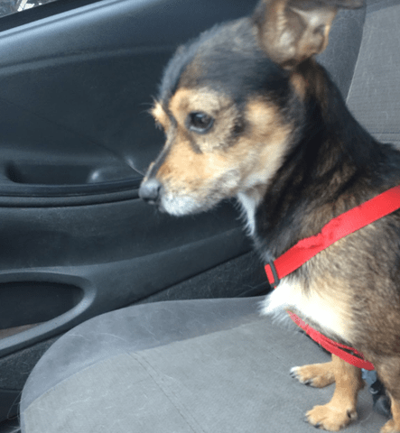 small black brown dog in car red collar