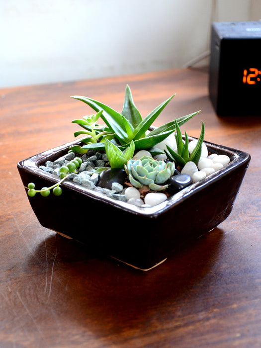 Assorted Succulents in Ceramic Tray