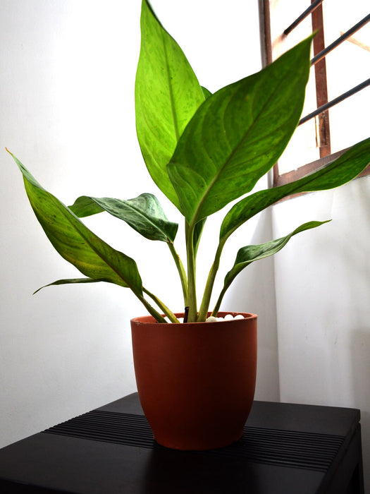 Aglaonema Malay Beauty