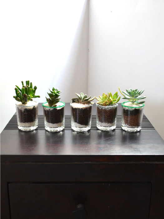 Succulents in Glittering Shot Glass (Pack of 25)