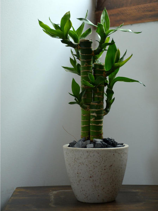 Lucky Lotus Bamboo in a 4 inch Ceramic Pot