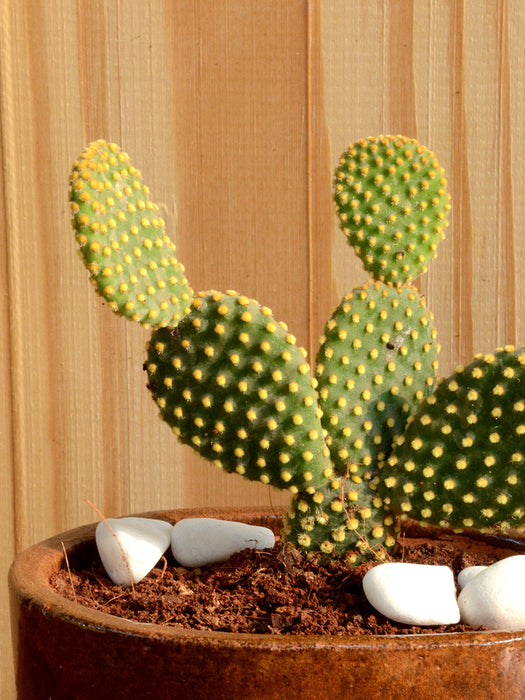 Bunny Ear Cactus in Ceramic Pot
