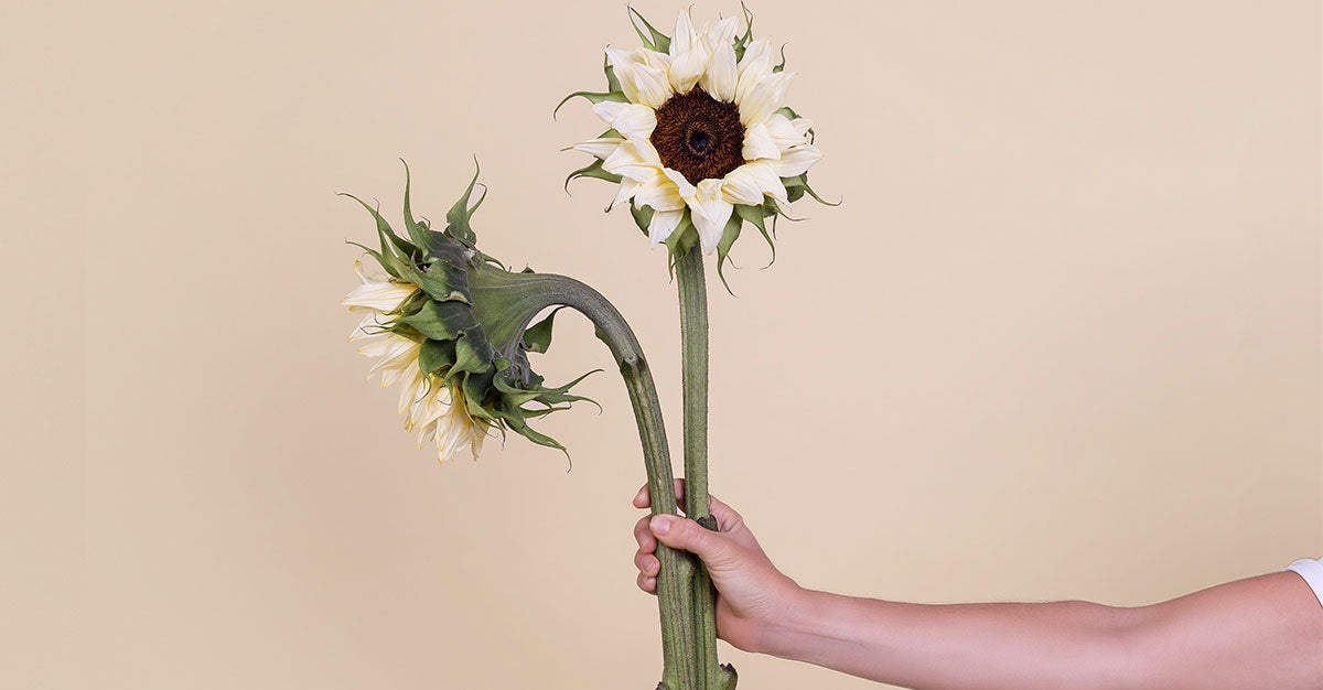 blog-imagewhite-sunflower