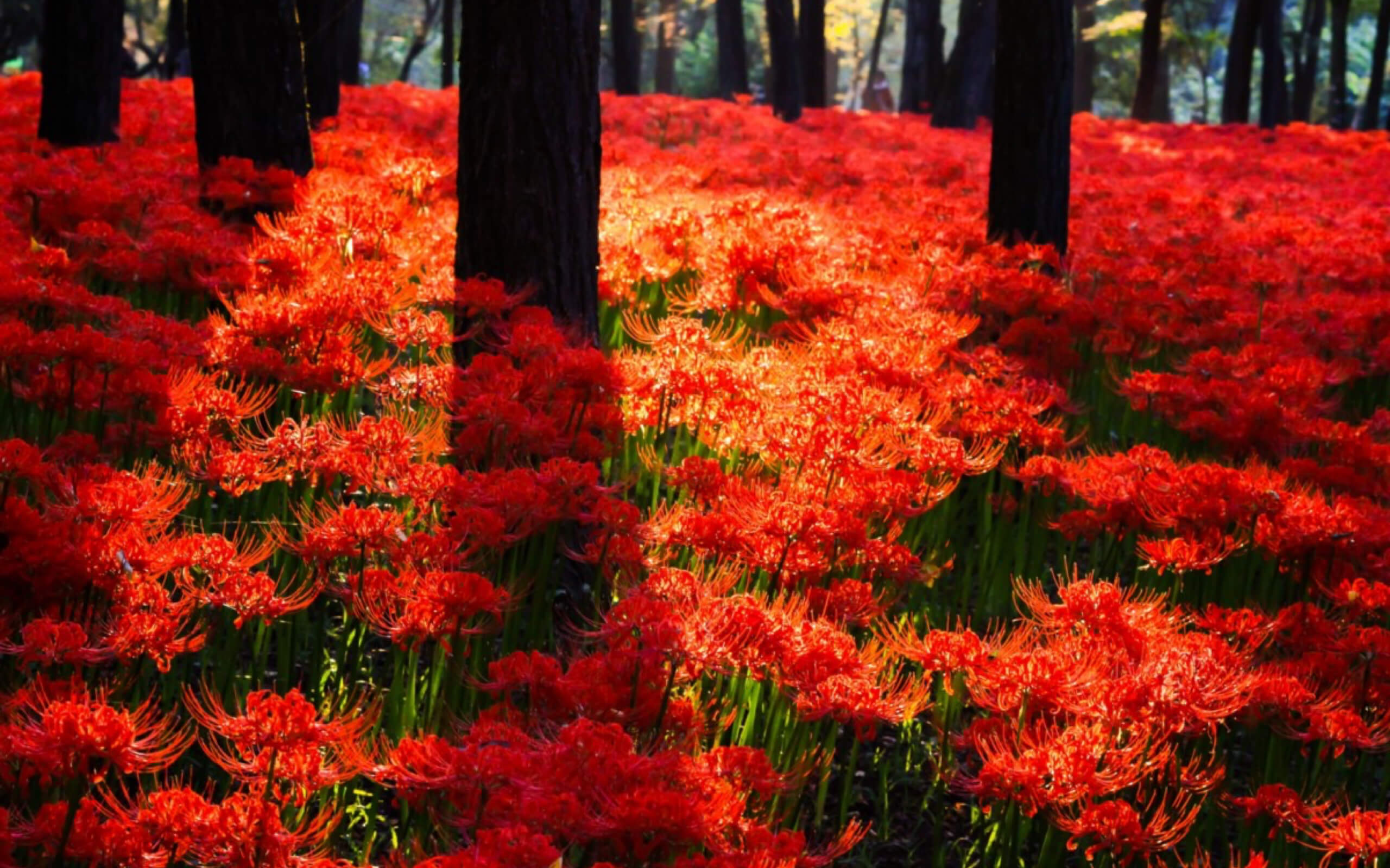 5.--japan-Manjushage-or-Lycoris-radiata--1-