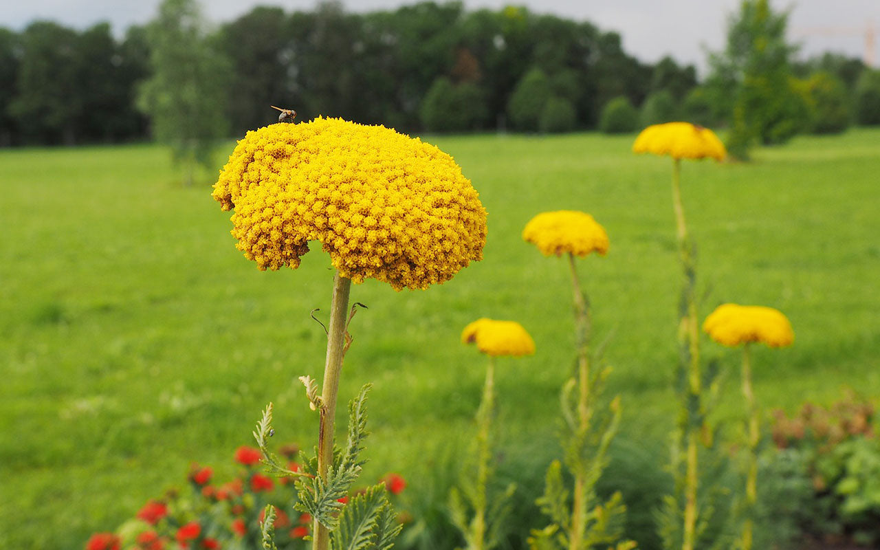 z-gold-yarrow
