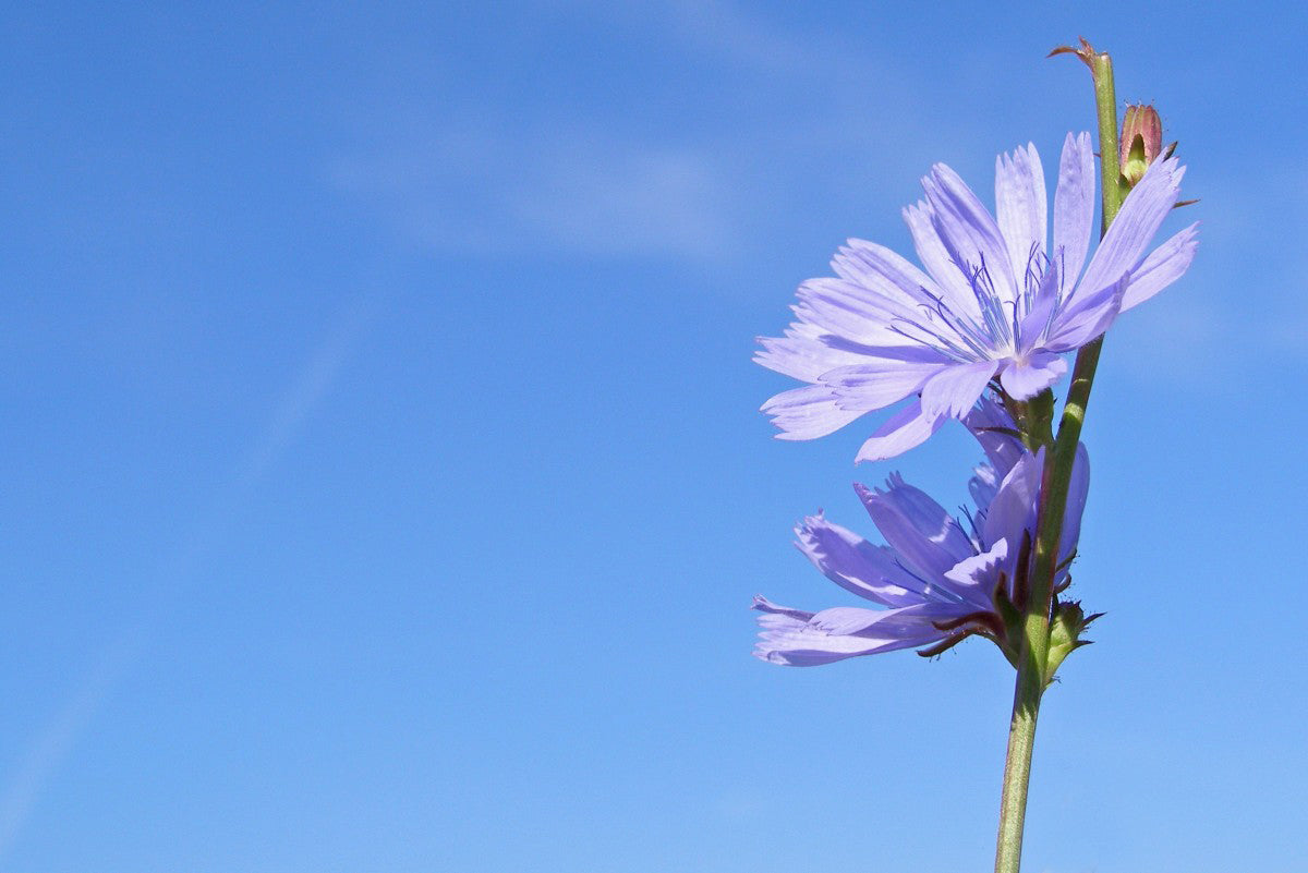 chicory_flower_blue_cichorium_intybus_summer_flower_field_wild_meadow-613382.jpg-d