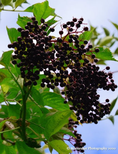 Photograph of a close-up cluster of elderberries on a branch, surrounded by bright green leaves.
