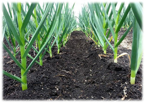 Best Garlic Soil