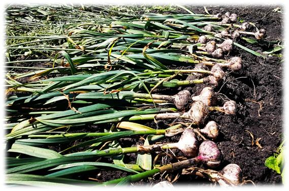 Harvested garlic drying outside