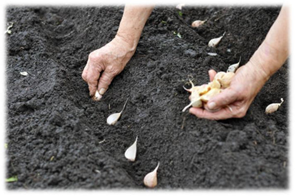 Planting Garlic Seed Cloves