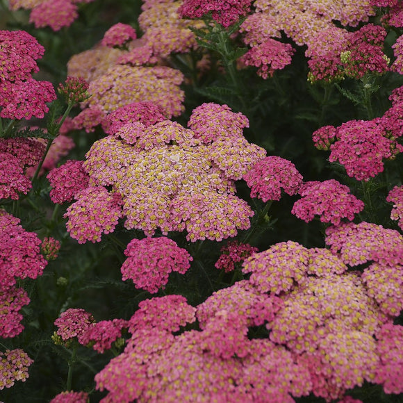 Achillea Sassy Summer Taffy