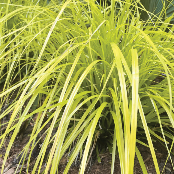 Carex oshemensis Everillo