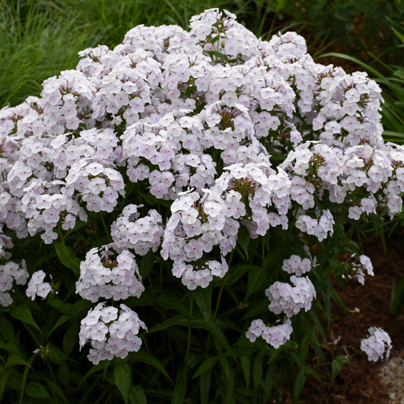 Phlox Fashionably Early Crystal