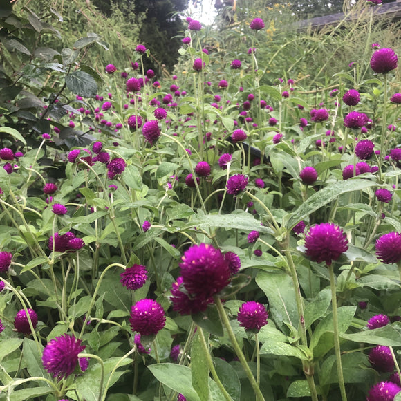 Gomphrena globosa Audray Purple Red