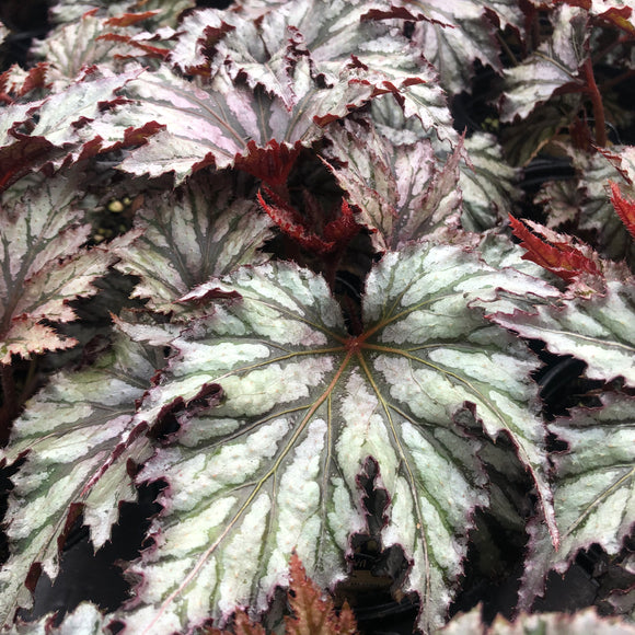 Begonia Garden Angel Blush