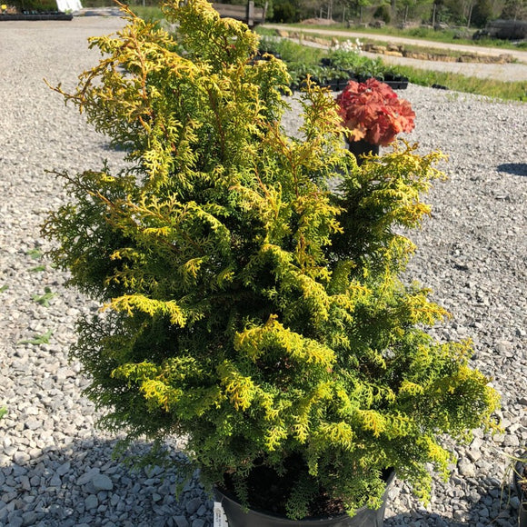 Chamaecyparis obtusa Spirited