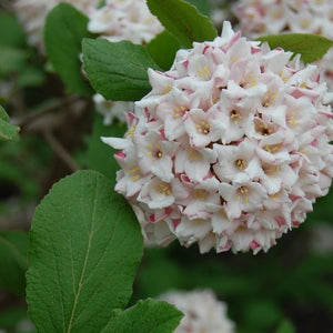 Viburnum West