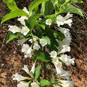 Weigela praecox April Snow