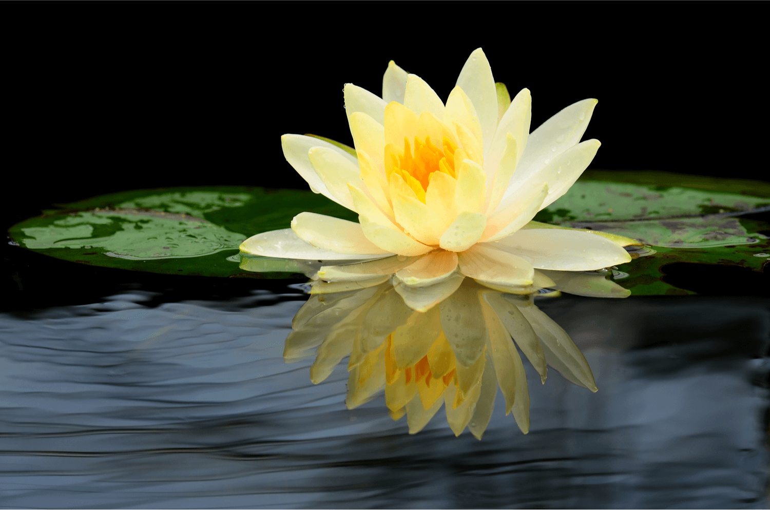our symbol is the yellow water lily