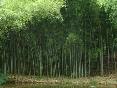 How to Grow, Harvest And Dry Bamboo