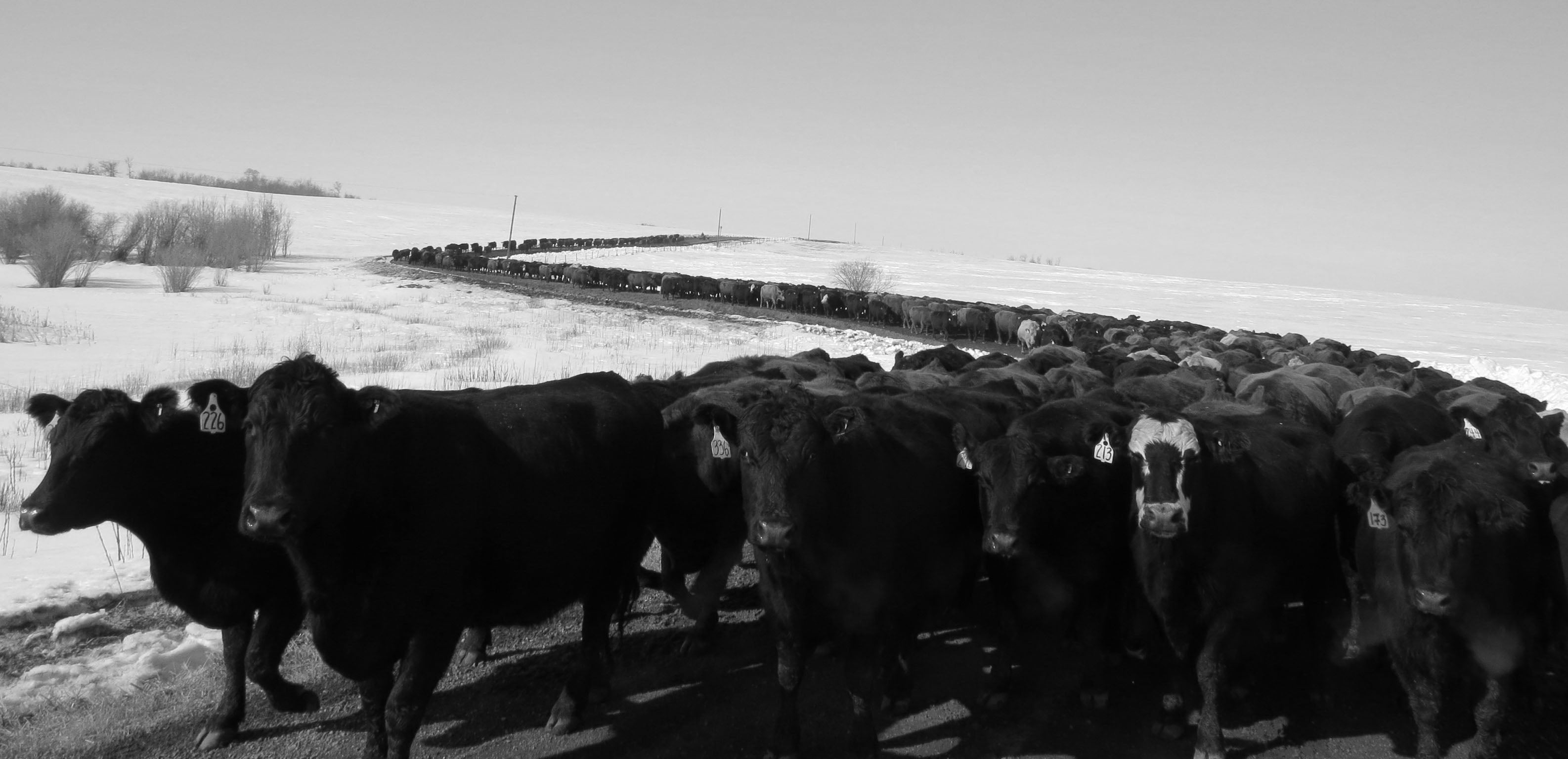 Pre-spring cattle drive