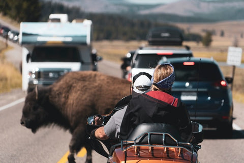 Bison Crossing Road - Extraordinary Things You Can Do to Save Endangered Species - Rainbow Yoga Training
