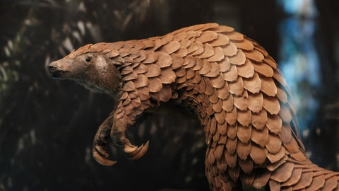 Pangolin - Extraordinary Things You Can Do to Save Endangered Species - Rainbow Yoga Training