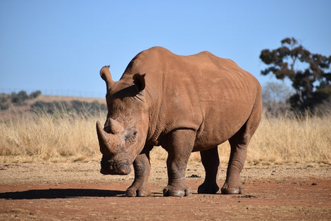 Rhinoceros - Extraordinary Things You Can Do to Save Endangered Species - Rainbow Yoga Training