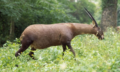 Saola Extraordinary Things You Can Do to Save Endangered Species Rainbow Kids Yoga Training