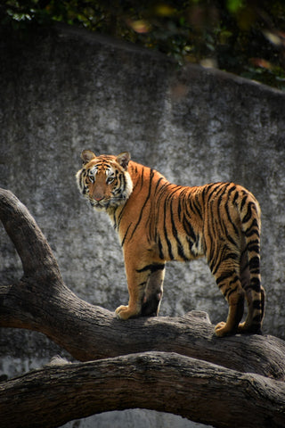 Tiger - Extraordinary Things You Can Do to Save Endangered Species - Rainbow Yoga Training