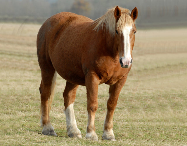 FREE Fact Sheet - Laminitis in Horses