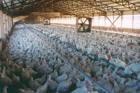 Conventional Chicken Barn filled with chickens