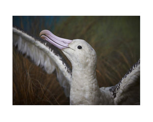 Auckland Museum Series 'Albatross' print by Brian Culy