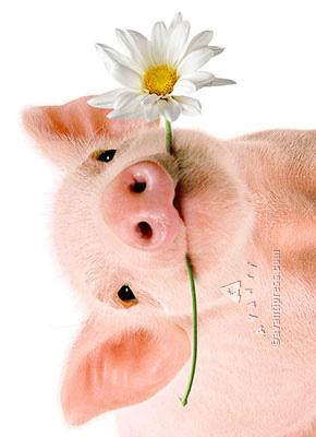 Pig Holds Flower