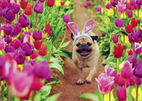 Pug Walking Through Colorful Tulips