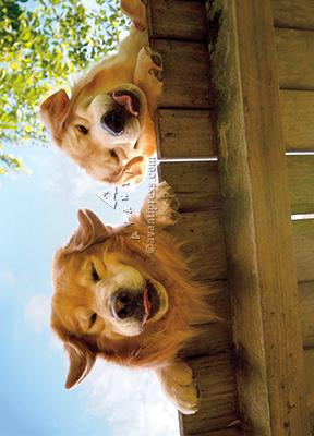 Goldens Over Fence