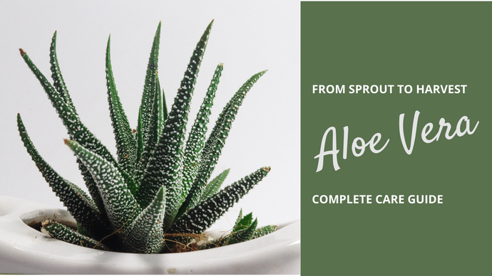 Complete Aloe Vera Houseplant Care: Planting to Harvest