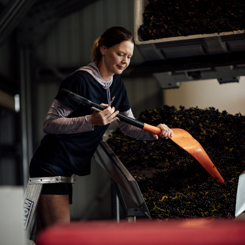 Lady with shovel assessing Pinot Noir on the sorting table